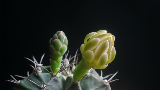 Flowers blooming cactus timelapse