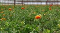 Flowers In Cut Flower Greenhouse