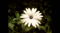 T/L flowers - CU Time lapse white daisy, Osteospermum, opens, closes and opens again, natural background
