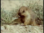 Fluffy juvenile marmot chewing on plant. Chews with mouth open looking at camera