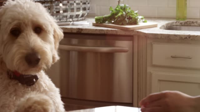 Fluffy White Dog Eats Popcorn & Licks Woman's Face