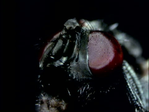 Fly, BCU face, zoom in to compound eye
