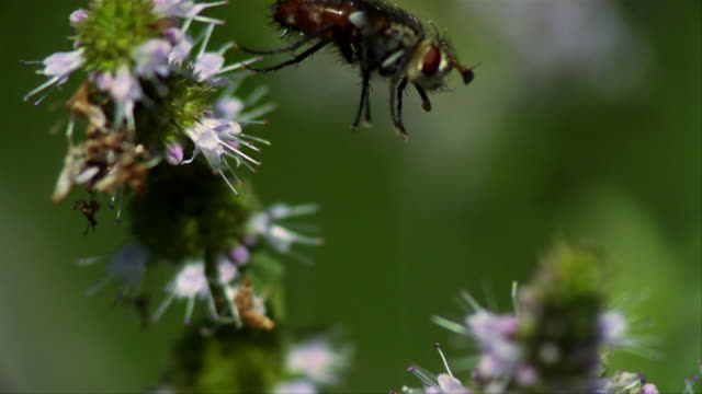 Fly (Diptera species) flying from one mint flower to another - 4000fps (80x slowed down)