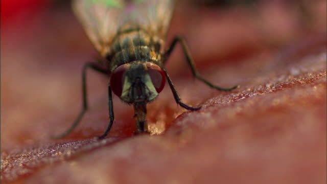 A fly probes rotting meat.