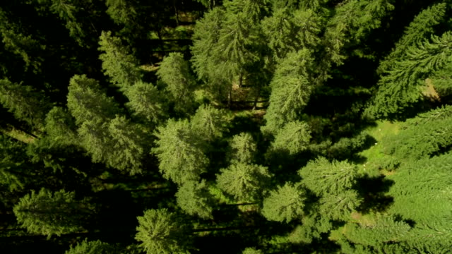HD: Flying Above Conifers Treetops