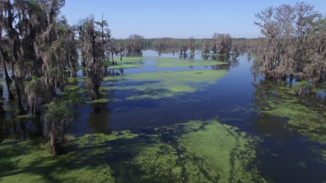 Flying at medium in swamp - Drone Aerial 4K Everglades, Swamp bayou with wildlife alligator nesting Ibis, Anhinga, Cormorant, Snowy Egret, Spoonbill, Blue Heron, eagle, hawk, cypress tree 4K Transportation