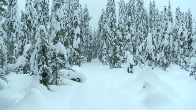 Flying Between Snowy Conifers
