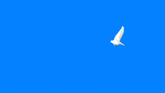 Flying Dove With Alpha Mask (Super Slow Motion)