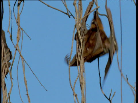 Flying Fox climbs tendril, hangs upside down and looks around, Australia