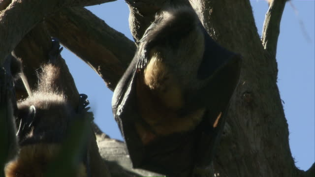 CU ZO Flying fox grooming while clinging to branch / Sydney , Australia