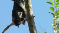 CU, TD, Flying Fox hanging on tree, flapping wings, Australia