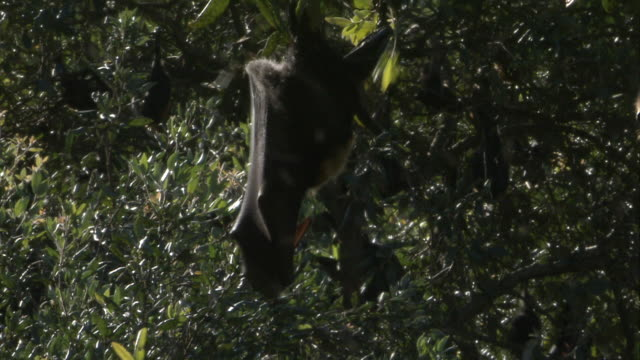 MS Flying fox hanging upside down from branch / Sydney , Australia