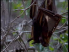 Flying Fox hangs right way up from tree branch to defaecate, another bat hangs upside down and licks its lips, Australia