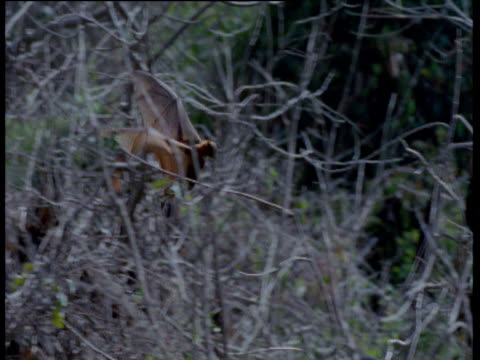 Flying Fox lands in tree and hangs upside down, Australia