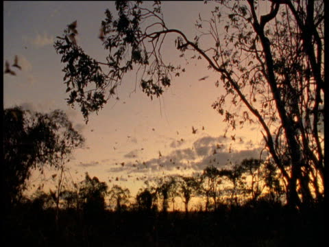 Flying foxes fly against pink sky, Australia