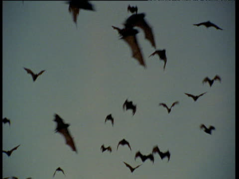 Flying foxes fly overhead at dusk, Australia
