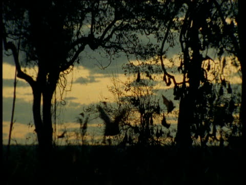 Flying Foxes fly through trees silhouetted at sunset, Australia