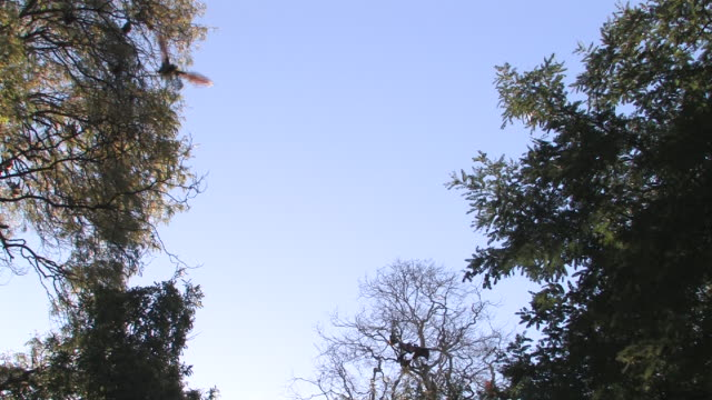 WS, LA, Flying foxes (Pteropus rufus) flying and roosting in tree, Berenty Private Reserve, Toliara Province, Madagascar