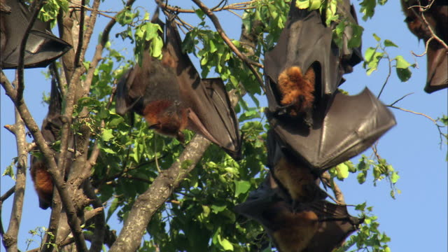 MS LA Flying Foxes in tree, Cambodia