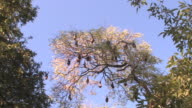 WS, LA, Flying foxes (Pteropus rufus) roosting in tree, Berenty Private Reserve, Toliara Province, Madagascar