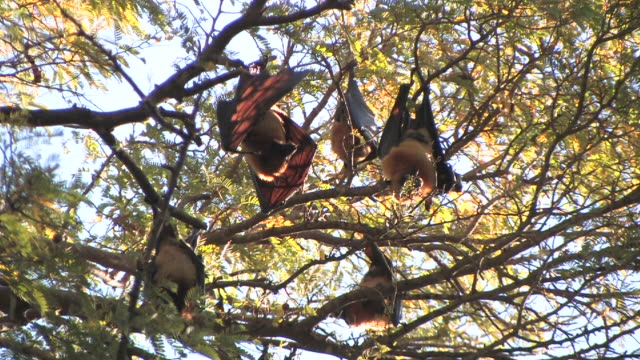 MS, LA, Flying foxes (Pteropus rufus) roosting in tree, Berenty Private Reserve, Toliara Province, Madagascar