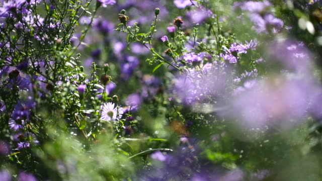 Flying honeybees and the aster