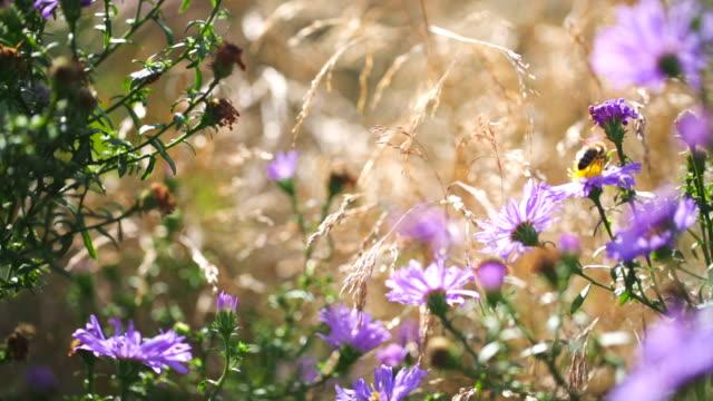 Flygande honungsbin och aster