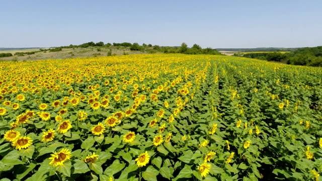 Flying low over sunflower