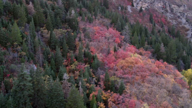 Flying over colorful trees growing up hillside during Fall