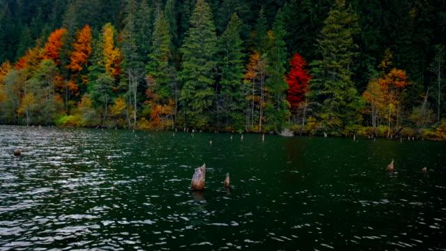 Flying over lake towards autumn pine woodland