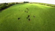 Flying over the cows