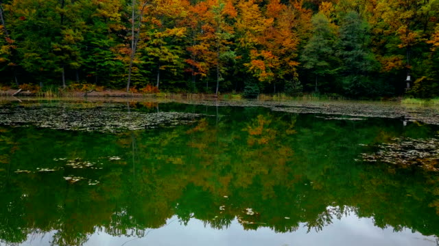 Flying over the lake with dry leaves on water towards autumn forest. Aerial shooting