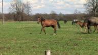 WS Foal and adult horses playfully running on field in Ljubljansko Barje / Notranjska, Slovenia