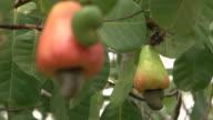 Focus cashew apples hanging on cashewtree