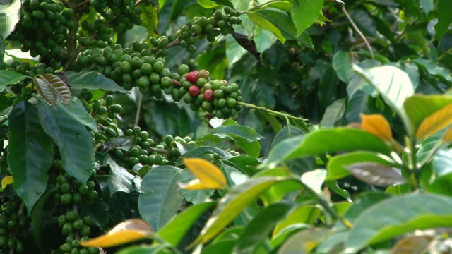 Focus coffee beans to leaf