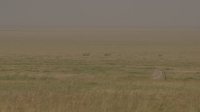 Focus on nutrient-rich grass in the foreground as unidentified deer-like creatures, possibly gazelle, follow each other in the distance on Serengeti plains, Tanzania.