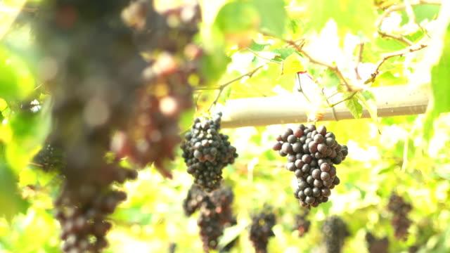 4K Focusing:Red grapes In Vineyard