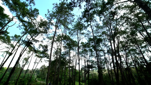 4K Focusing:shot of looking up at trees,Pine forest