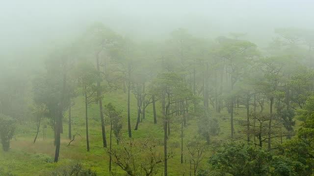 Mist cover dennenbos thats op bergen