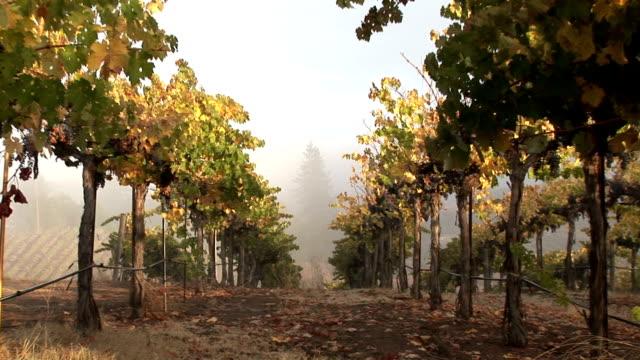 Fog on Napa Vineyard