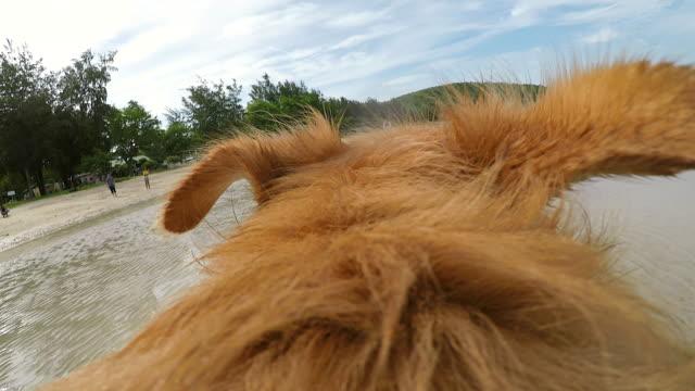 Ein Hund läuft in das Feld für den jungen Mann nach. Labrador oder golden Retriever hinter seinem männlichen Besitzer im Freien in der Natur joggen und wedelte mit Schweif. Rückseitige Ansicht von hinten