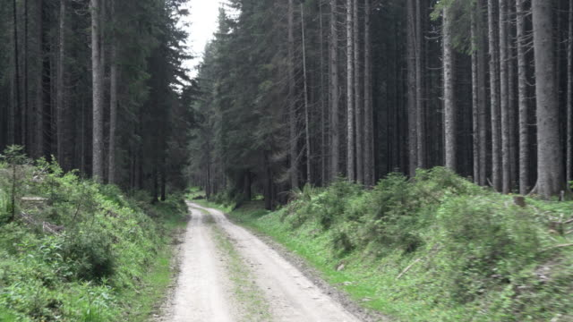 AERIAL Following the forest road amongst spruce trees