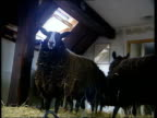 Sheep ordered to be slaughtered ITN SCOTLAND Dumfries Galloway Whithorn Carolyn Hoffe speaking on phone to her solicitor SOT LA MS Rare sheep in...
