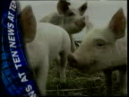 Under control/Special report LIB News At Ten Bong with pigs in sty reporting foot mouth outbreak