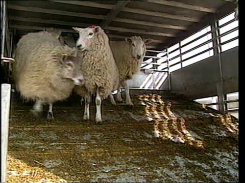Foot and mouth General Election Pressure ENGLAND GVs Flock of sheep eating straw in field MS Sheep towards from trailer down ramp into pen PAN MS...