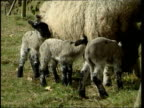 Livestock Cull ENGLAND Cumbria Sheep grazing in field GV Lambs feeding from mother in field Steve Heaton interviewed SOT Its the right decision anger...