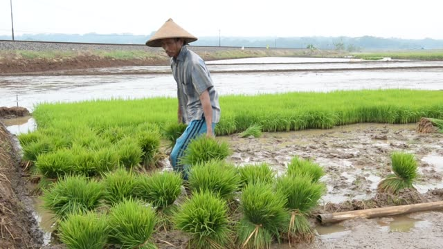 Footage of farmers working in a paddy field in Batang Central Java Indonesia on April 29 2015 Shots man bends over to pull out paddy man pulls out...