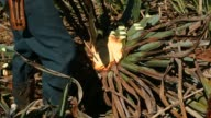 Footage of Mexican farmer during harvest of blue agave plants for the pina or pineapple inside in Atotonilco Jalisco Mexico on April 5 2017