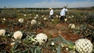 Footage of Mexican farmers working in fields to harvest blue agave plants for the pina or pineapple inside in Atotonilco Jalisco Mexico on April 5...