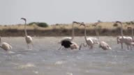 Footage showing a rare black flamingo wandering around other flamingos and occasionally dunking its head underwater at Tuzla Wild Life Development...